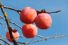 Träd för japansk persimon med frukter Arkivfoton