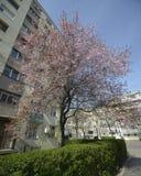 Träd för japansk plommon i staden Royaltyfri Fotografi