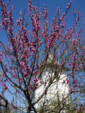 Träd för körsbärsröd blomning Royaltyfri Bild