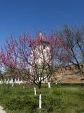 Träd för körsbärsröd blomning Arkivfoton
