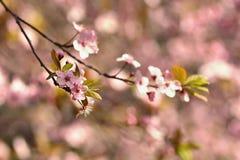 Träd för körsbärsröd blomning Natur- och vårbakgrund blommor rosa sakura Plats med solen på solig dag just rained Abstrakt begrep Royaltyfria Bilder