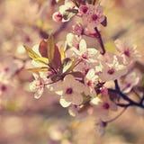 Träd för körsbärsröd blomning Natur- och vårbakgrund blommor rosa sakura Plats med solen på solig dag just rained Abstrakt begrep Royaltyfri Bild