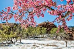 Träd för körsbärsröd blomning på rött vaggar kanjonöppet utrymme Colorado Spri Arkivbild