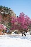 Träd för körsbärsröd blomning på rött vaggar kanjonöppet utrymme Colorado Spri Arkivfoton