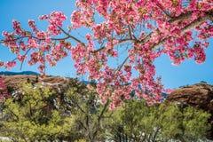 Träd för körsbärsröd blomning på rött vaggar kanjonöppet utrymme Colorado Spri Royaltyfria Foton