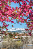 Träd för körsbärsröd blomning på rött vaggar kanjonöppet utrymme Colorado Spri Royaltyfria Bilder