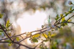 Träd för körsbärsröd plommon för blomning Fotografering för Bildbyråer