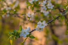 Träd för körsbärsröd plommon för blomning Royaltyfria Foton