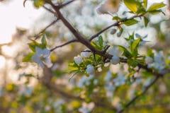 Träd för körsbärsröd plommon för blomning Royaltyfria Bilder