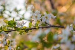 Träd för körsbärsröd plommon för blomning Arkivfoton