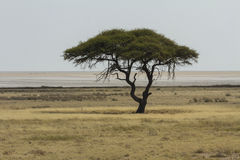 Träd för kameltaggakacia och den Etosha pannan Arkivbilder