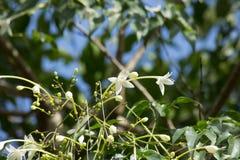 Träd för kork för Whtie blomma indiskt och gräsplanbladbakgrund Arkivfoton