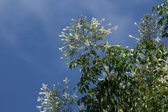 Träd för kork för Whtie blomma indiskt och gräsplanbladbakgrund Royaltyfri Bild