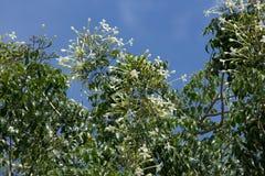 Träd för kork för Whtie blomma indiskt och gräsplanbladbakgrund Arkivfoto