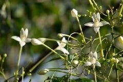Träd för kork för Whtie blomma indiskt och gräsplanbladbakgrund Fotografering för Bildbyråer