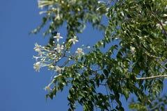 Träd för kork för Whtie blomma indiskt och gräsplanbladbakgrund Royaltyfria Bilder