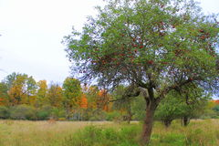 Träd för löst äpple i nedgången Arkivbilder