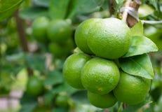 Träd för limefruktgräsplan från filialerna själv Arkivbild