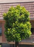träd för magnolia (Sweetbay) Fotografering för Bildbyråer