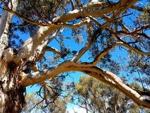 Träd för McLaren daleukalyptus med blå himmel Fotografering för Bildbyråer