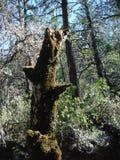 Träd för Napa County björnande fotografering för bildbyråer