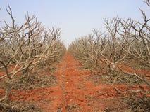 träd för nedgångvaniljsåsäpple Arkivbilder