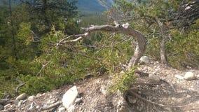 Träd för pilbågedalbanff berg Arkivfoto