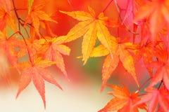 Träd för röd lönn Royaltyfri Bild