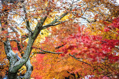 Träd för röd lönn i en japanträdgård Royaltyfri Fotografi