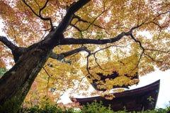 Träd för röd lönn i en japanträdgård Arkivbild