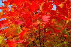 Träd för röd lönn i höst Fotografering för Bildbyråer