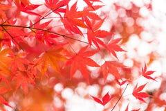 Träd för röd lönn med guld- solljus och suddig bakgrund, Japan royaltyfri fotografi