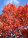 Träd för röd lönn och blå himmel arkivfoton