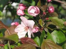 Träd för rosa färgblommaäpple Arkivbild