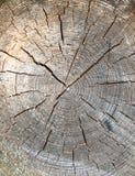 Träd för runt snitt ner med årliga cirklar arkivbilder