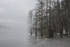 Träd för skallig cypress Forest Edge i is och dimma royaltyfria bilder