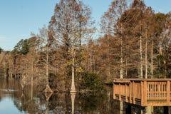 Träd för skallig cypress på fiskepir på den knubbiga sjön royaltyfria foton
