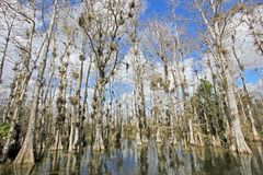 Träd för skallig cypress, Taxodiumdistichum, träsk, Everglades nationalpark, Florida, USA royaltyfri foto