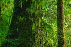 Träd för Stillahavs- nordvästlig rainforest och för västra odört Royaltyfri Fotografi