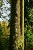 Träd för Stillahavs- nordvästlig skog och för västra odört Royaltyfria Foton