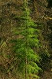 Träd för Stillahavs- nordvästlig skog och för västra odört Arkivbild