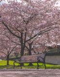 Träd för tom bänk och för körsbärsröd blomning arkivbilder