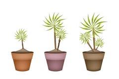 Träd för tre palmlilja och Dracaenaväxt i keramiska krukor Arkivfoton