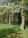 Träd för vårlandskapblomning Royaltyfria Foton