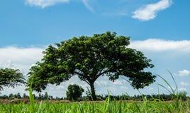 Träd för valnöt för östlig indier eller för siden- träd eller regnoch härlig bakgrund för blå himmel, blick som det gröna paraply fotografering för bildbyråer