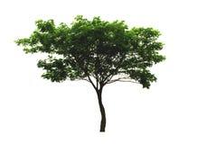 Träd för valnöt för regnträd som eller för östlig indier isoleras på vit bakgrund med den snabba banan royaltyfri foto