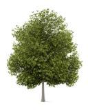 Träd för vit aska som isoleras på vit stock illustrationer