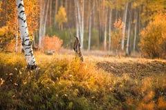 Träd för vit björk i orange skog Royaltyfri Foto