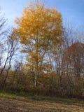 Träd för vit björk med nedgångfärger Arkivfoton