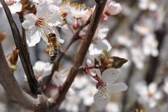 Träd för vit blomma för vår och ett bi Arkivfoton